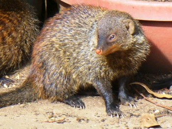 Mongoose at Ramakrishna Centre, Durban